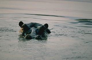 Hippo pool Zambezi