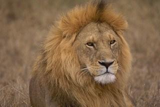 Lion mane in Botswana