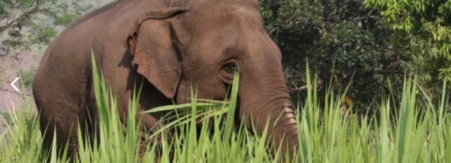 Elephant Rescue, Myanmar (Burma)